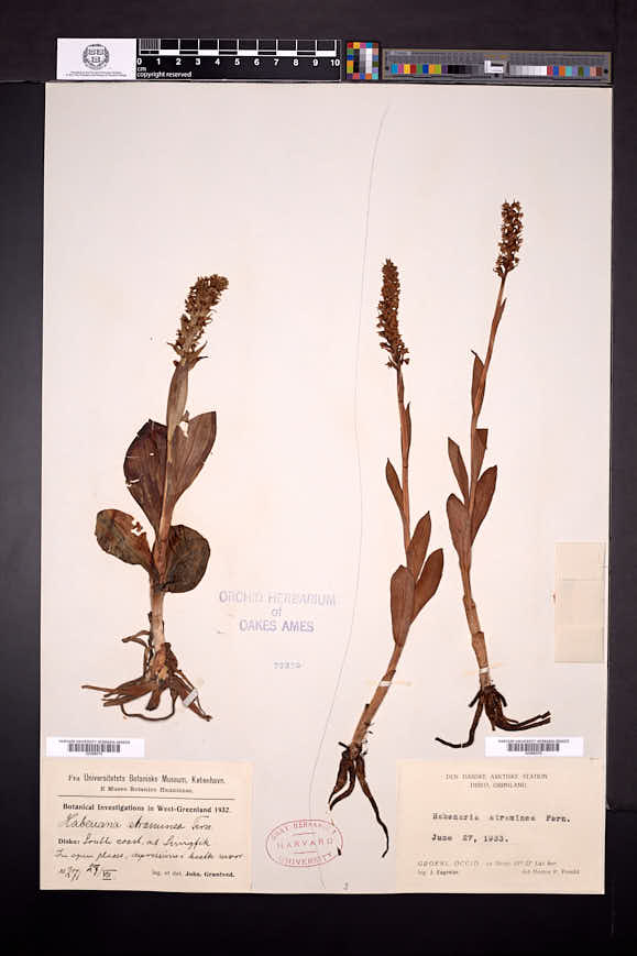 Platanthera albida image