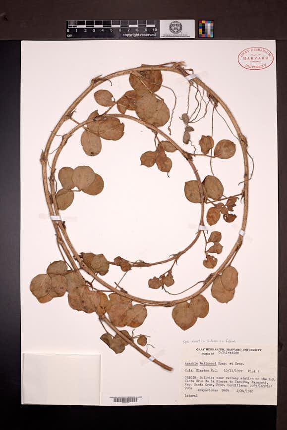 Arachis batizocoi image
