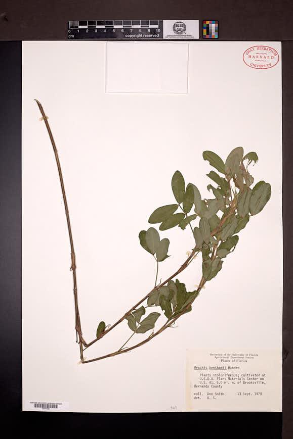 Image of Arachis benthamii