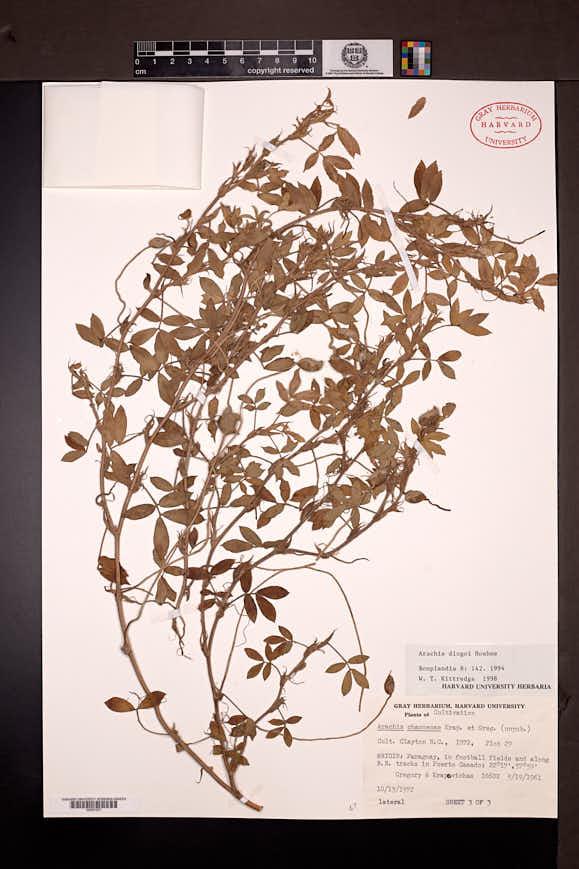 Image of Arachis diogoi