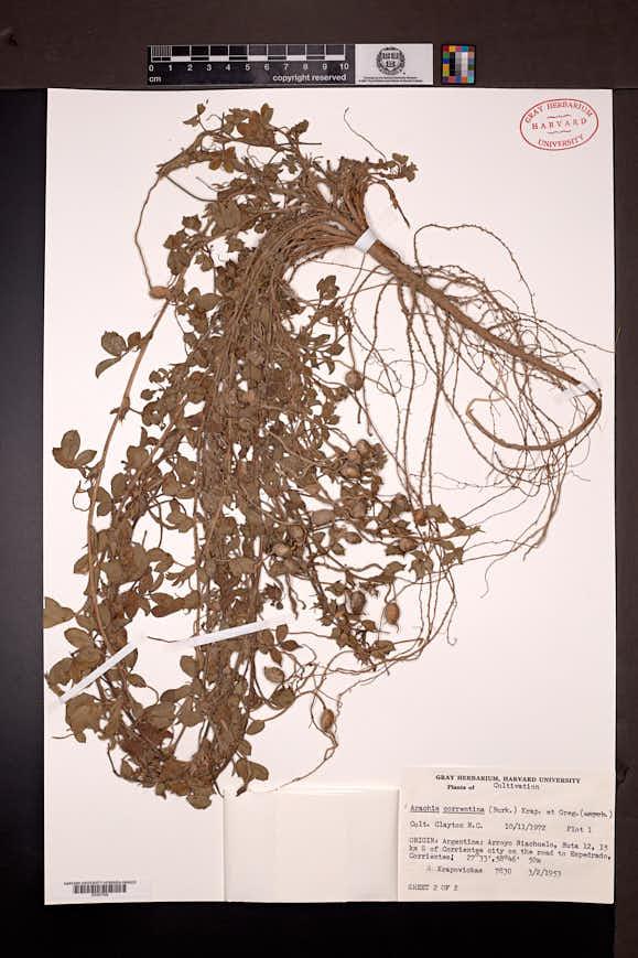 Arachis correntina image