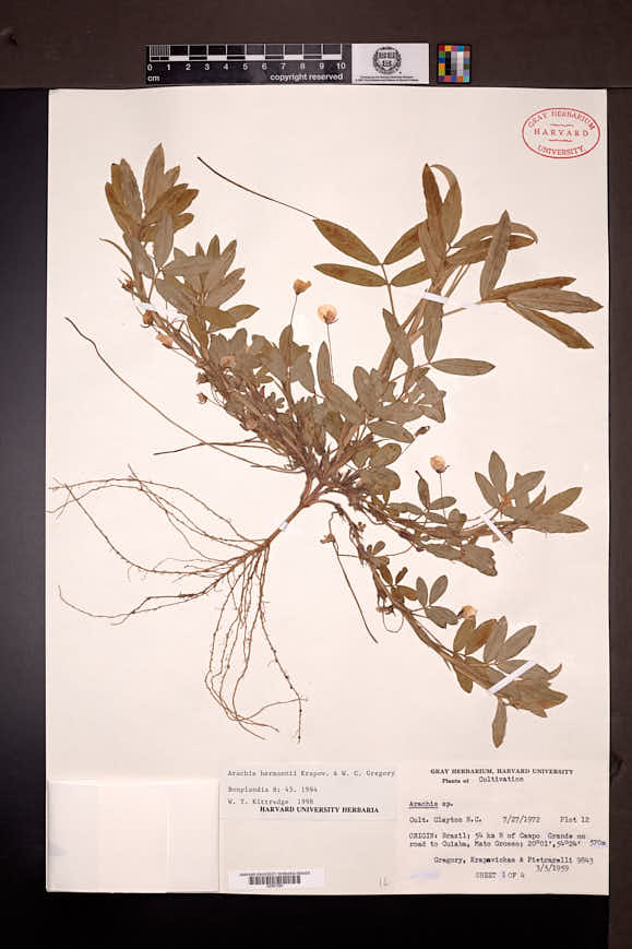 Image of Arachis hermannii