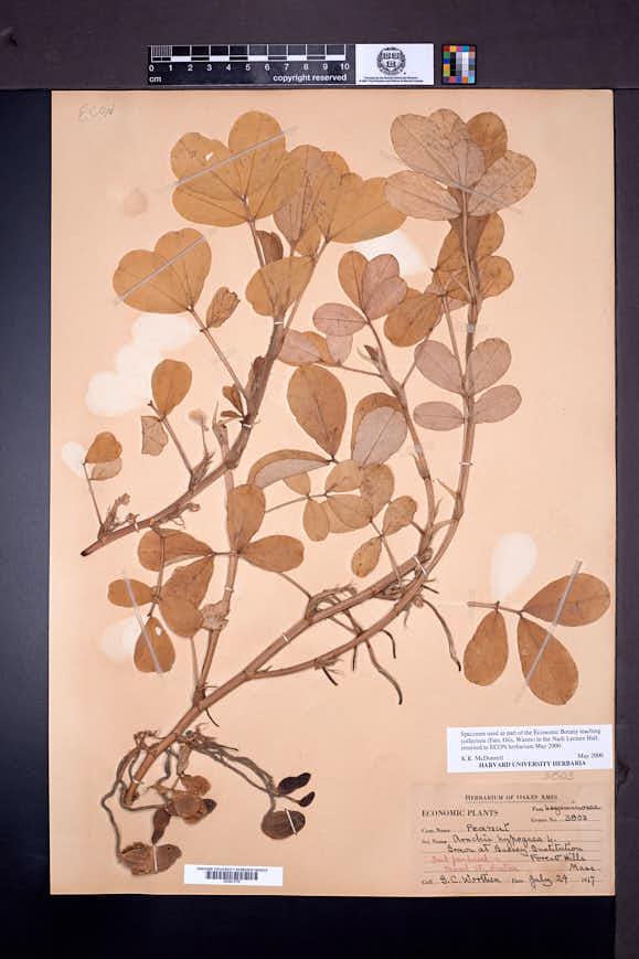 Arachis hypogaea image