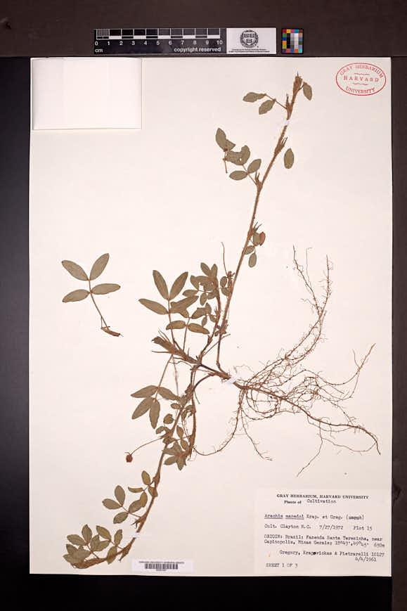 Image of Arachis macedoi