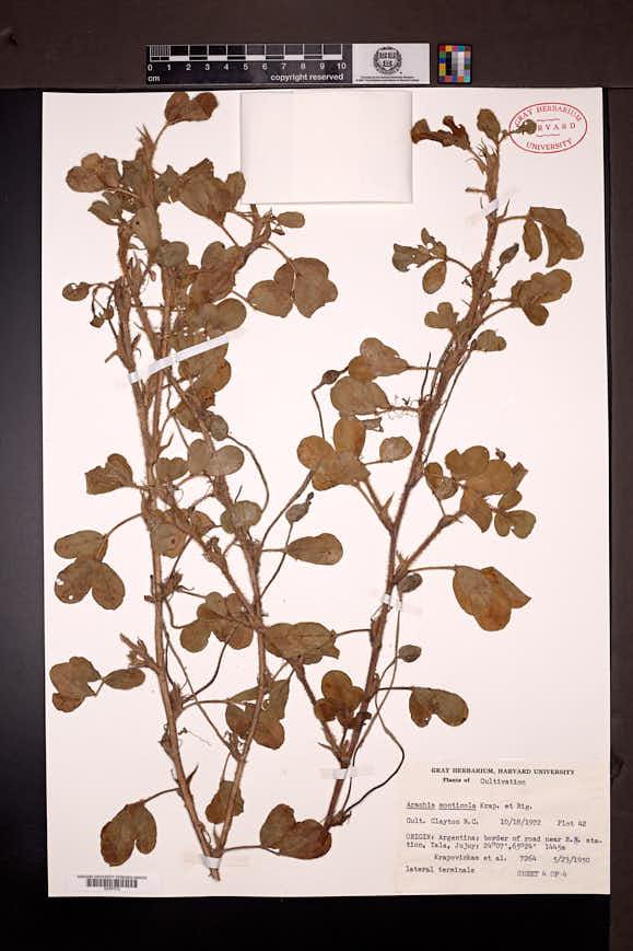 Arachis monticola image