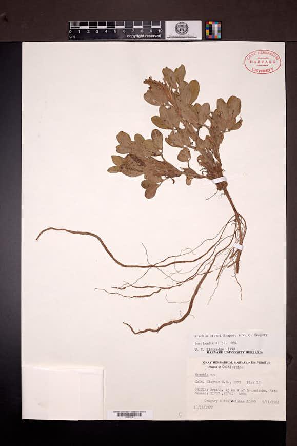 Image of Arachis oteroi