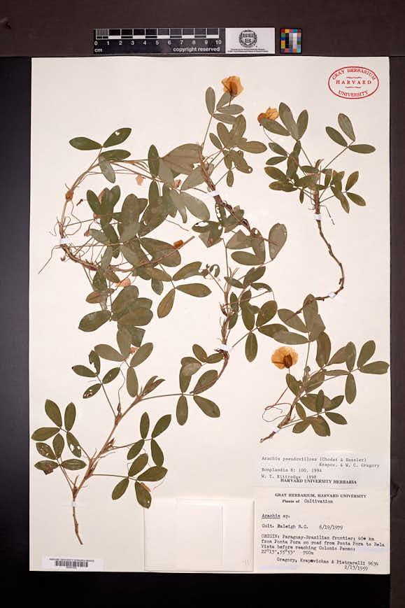 Image of Arachis pseudovillosa
