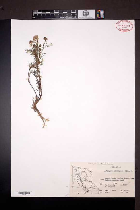 Astragalus aboriginum image