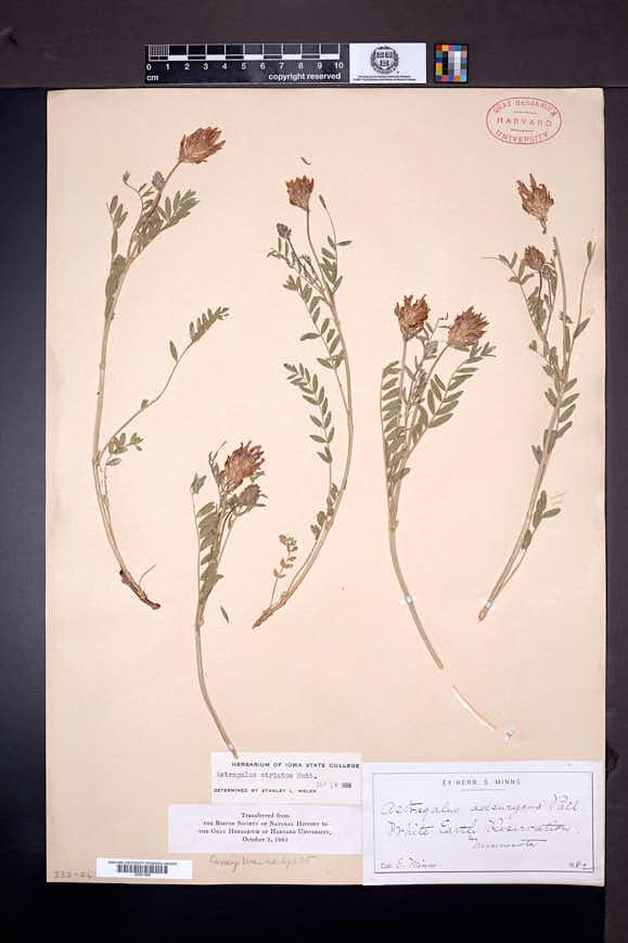 Astragalus laxmannii image