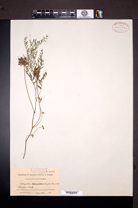 Astragalus agrestis image