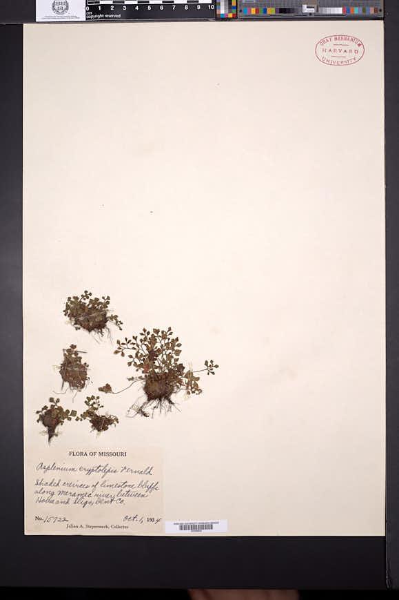 Asplenium ruta-muraria image