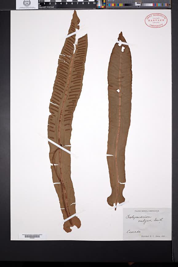 Asplenium scolopendrium image