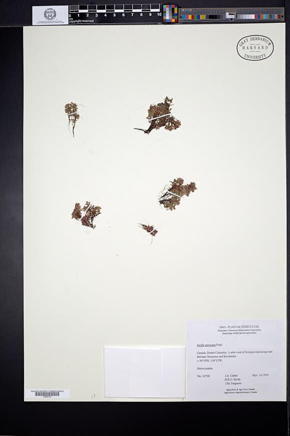 Azolla microphylla image