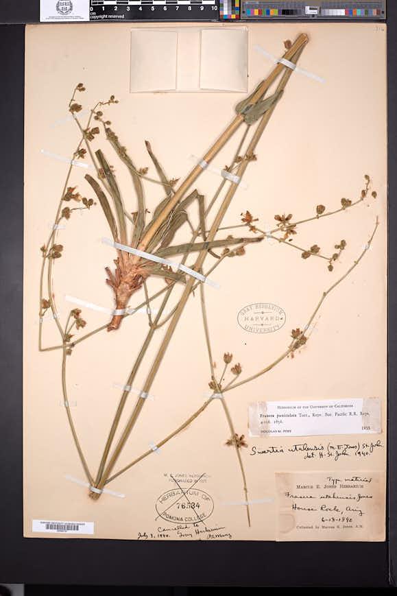 Frasera paniculata image