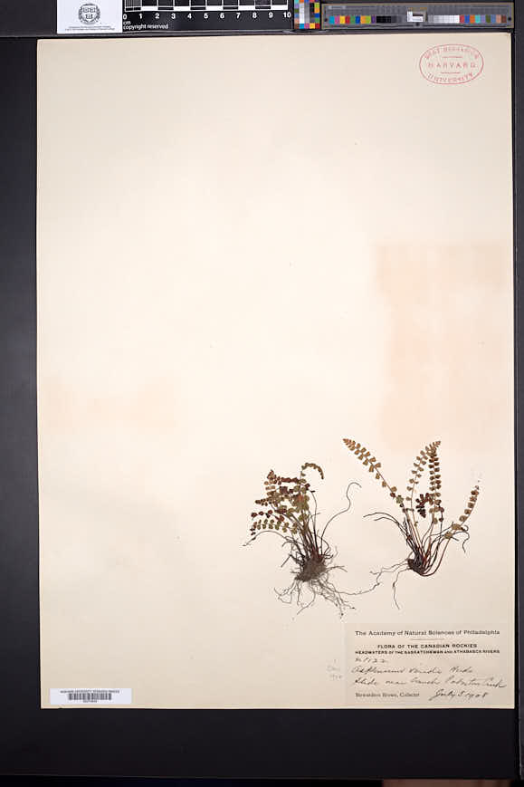 Asplenium viride image
