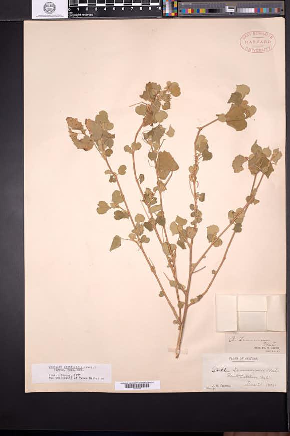 Abutilon abutiloides image