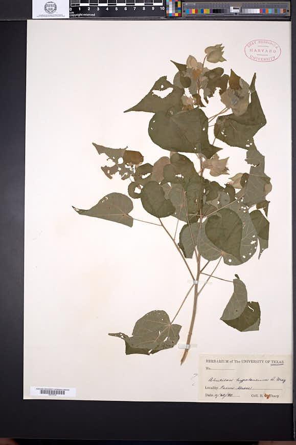 Abutilon hypoleucum image