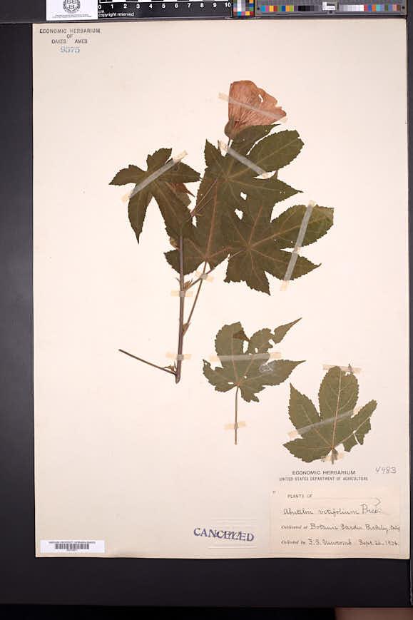 Corynabutilon vitifolium image