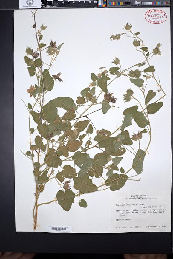 Abutilon wrightii image