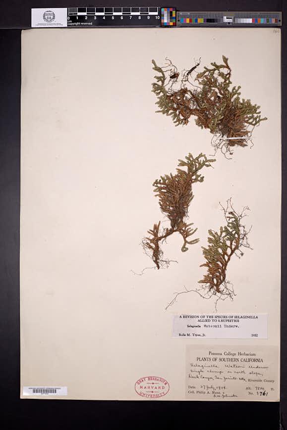 Selaginella watsonii image