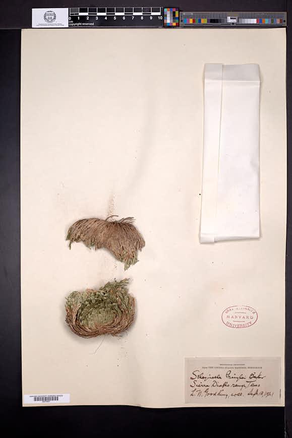 Selaginella pilifera image