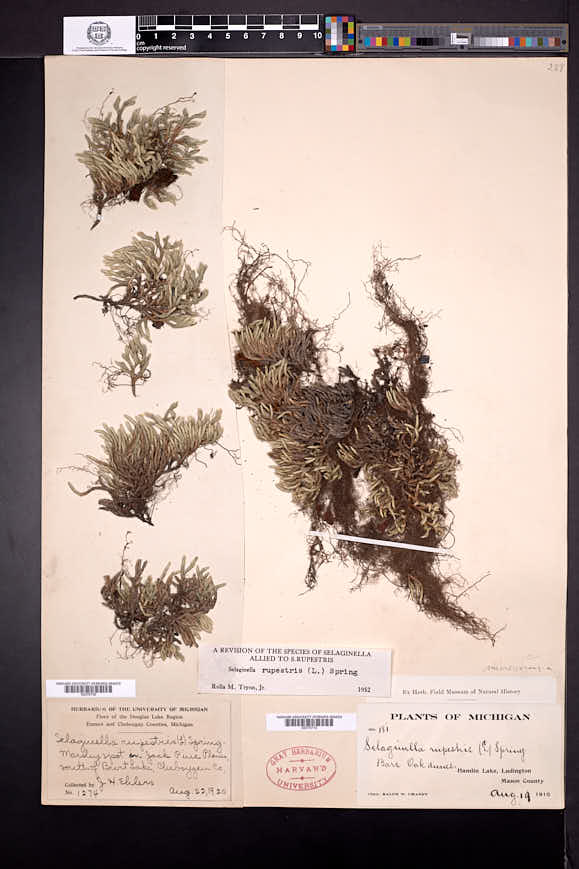 Selaginella rupestris image