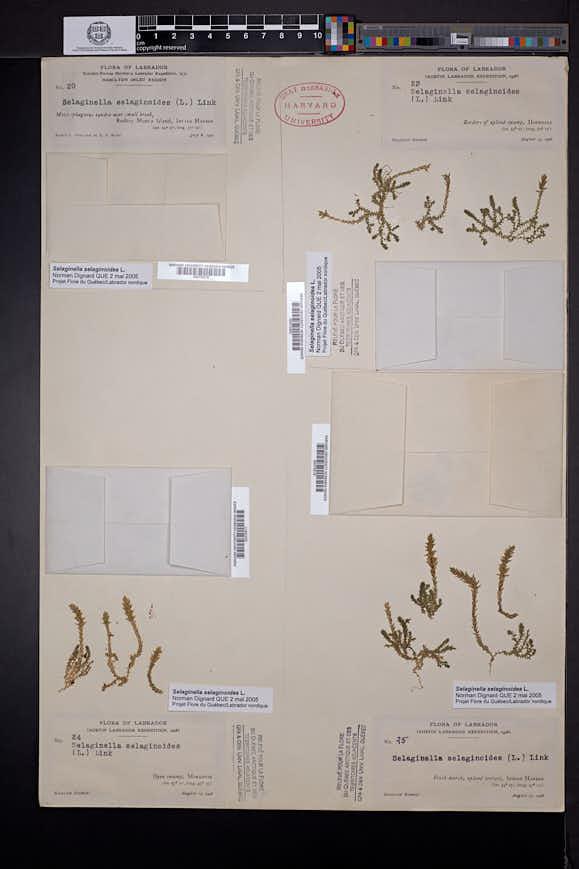 Selaginella selaginoides image