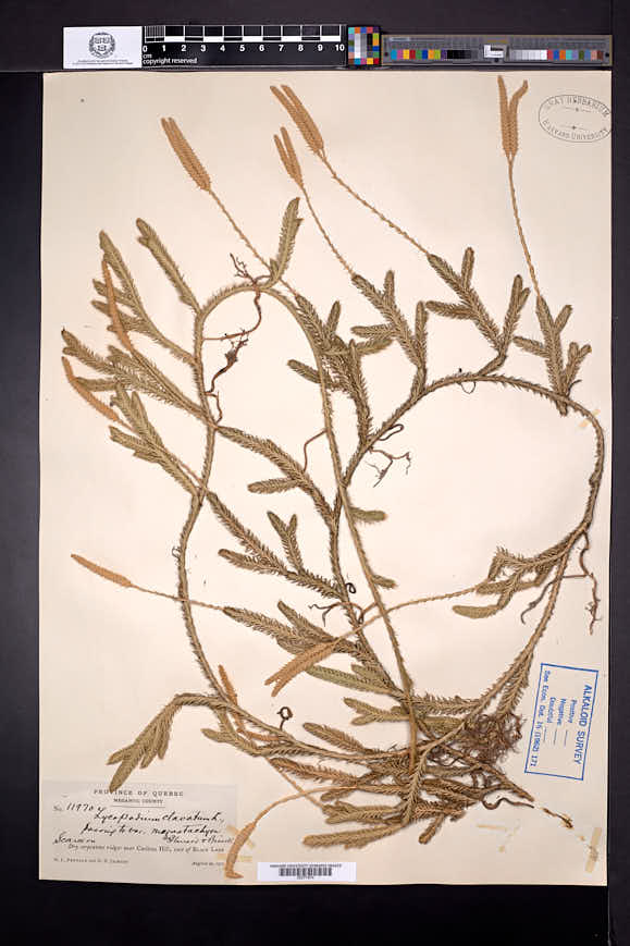 Lycopodium lagopus image