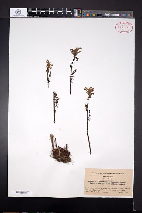 Pedicularis rainierensis image