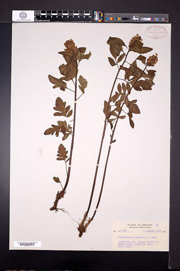 Pedicularis howellii image