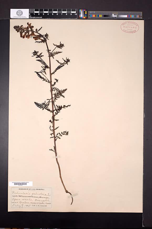 Pedicularis palustris image