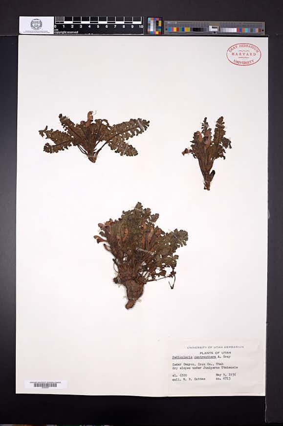 Pedicularis centranthera image