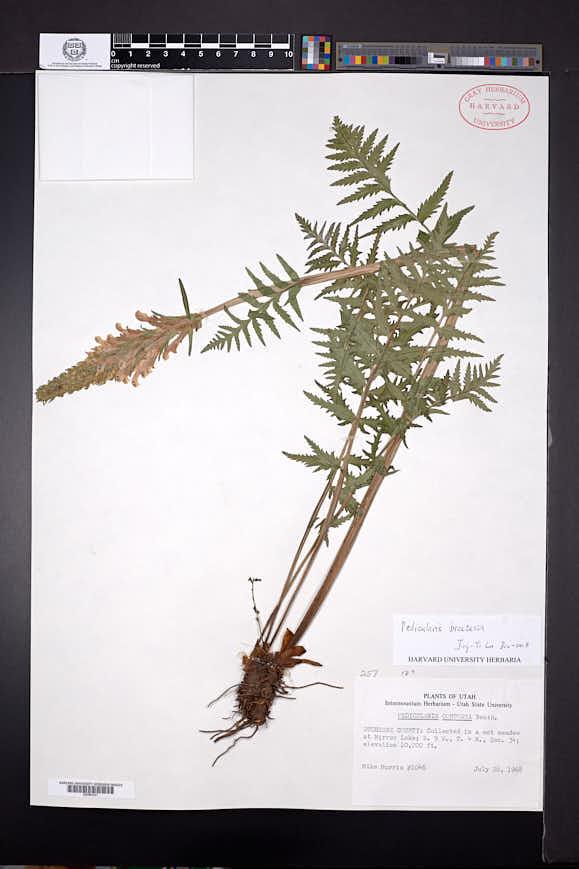 Pedicularis contorta image