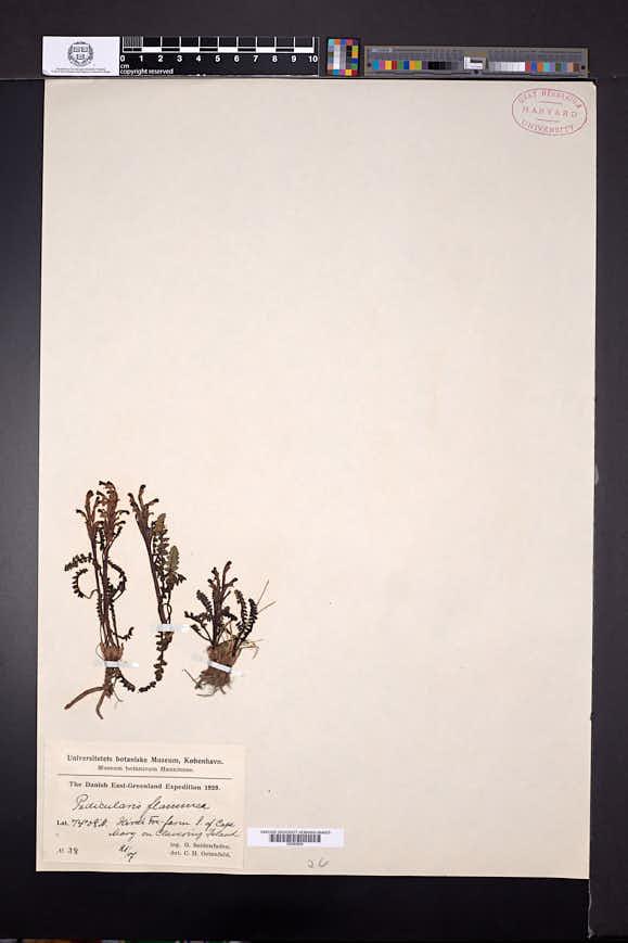 Pedicularis flammea image