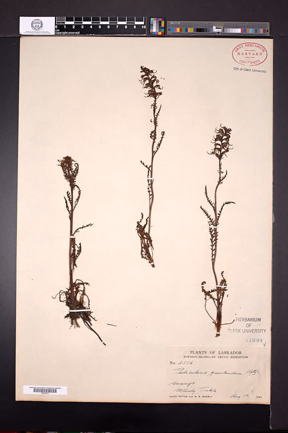 Pedicularis groenlandica image