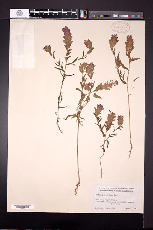 Orthocarpus imbricatus image