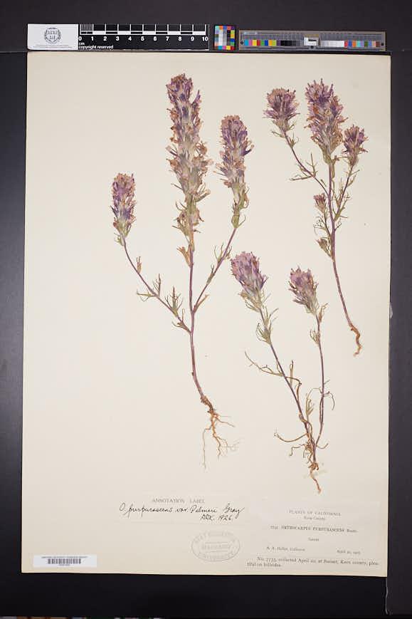 Castilleja exserta subsp. exserta image