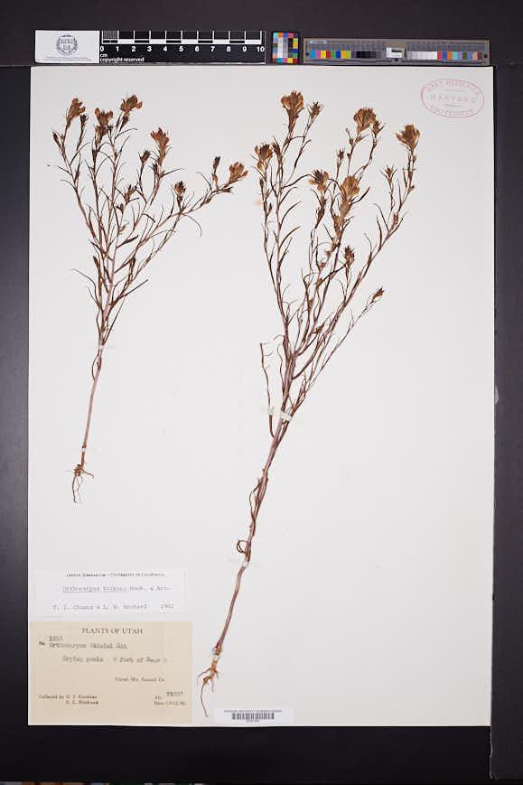 Orthocarpus tolmiei image