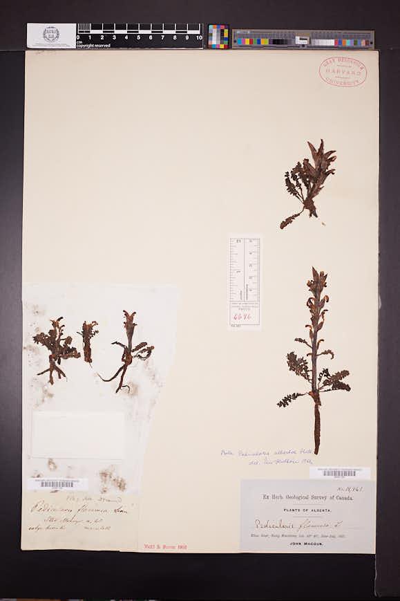 Pedicularis albertae image