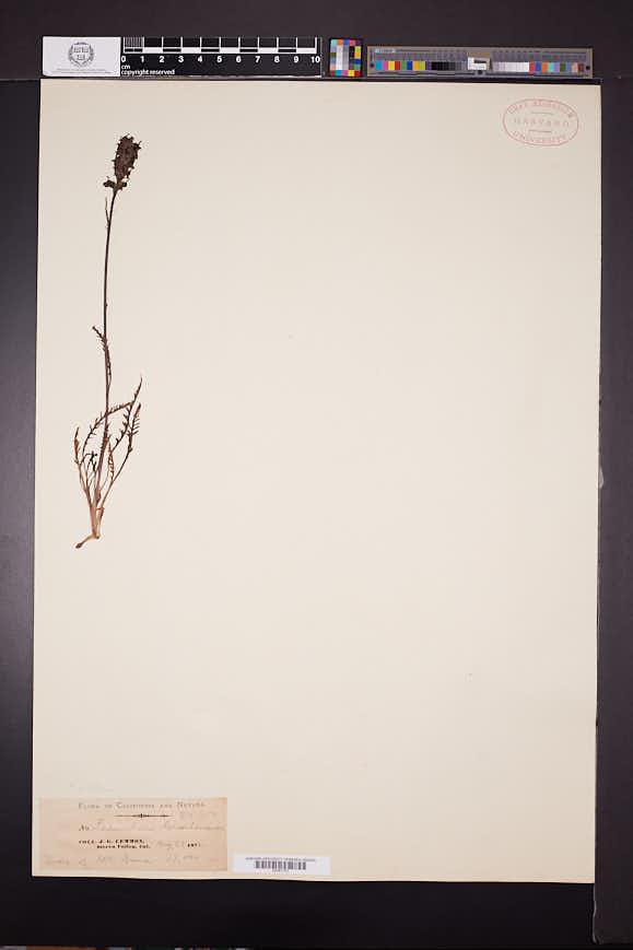 Pedicularis attollens image