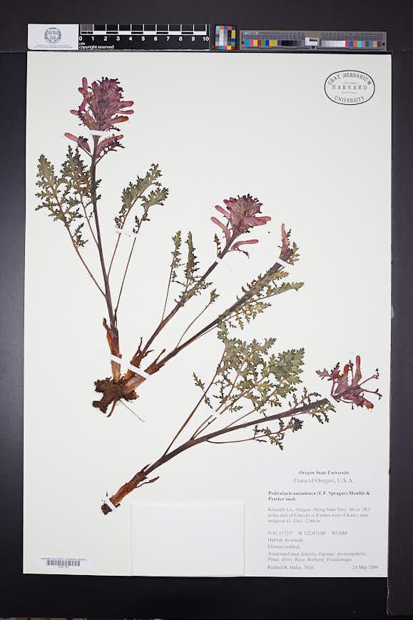 Pedicularis aurantiaca image