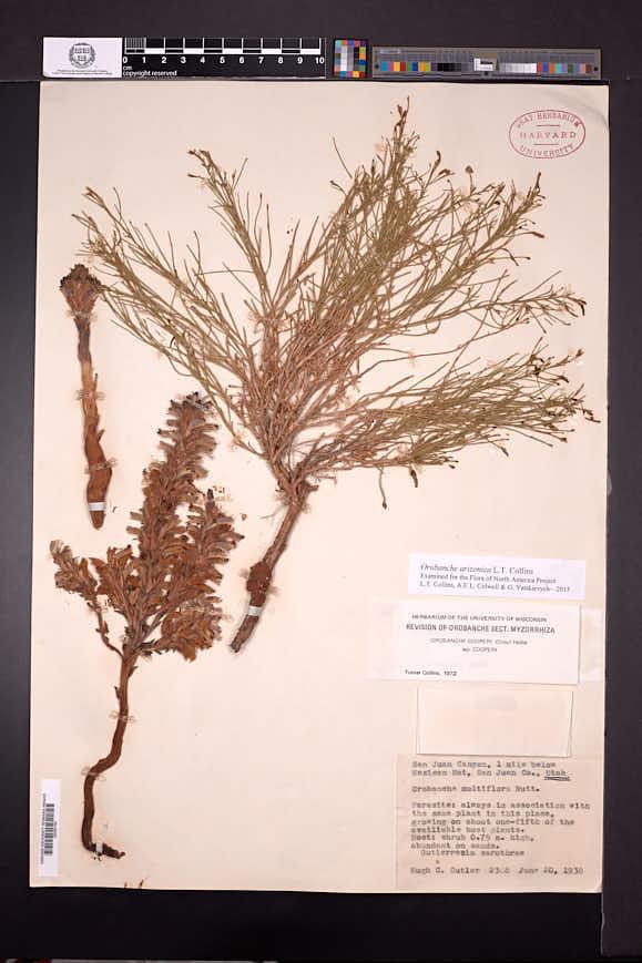 Orobanche arizonica image