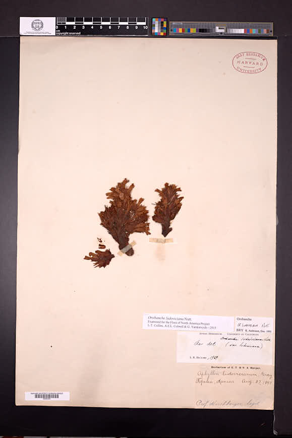 Orobanche ludoviciana image