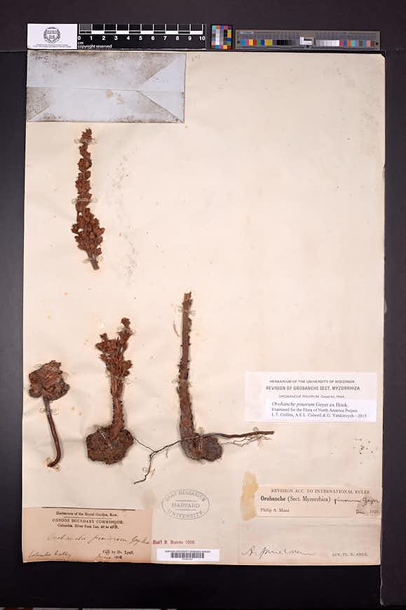 Orobanche pinorum image