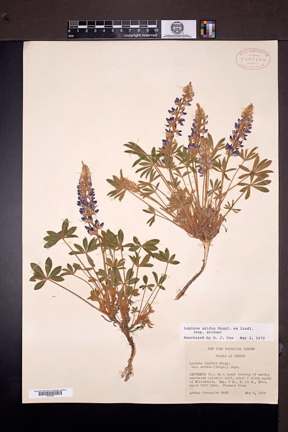 Lupinus aridus image