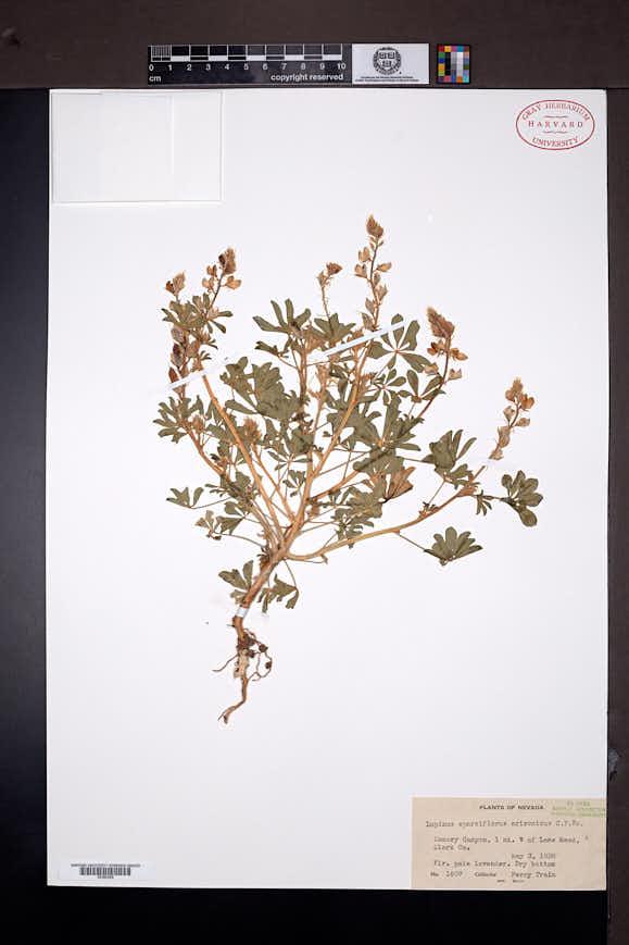 Lupinus arizonicus image