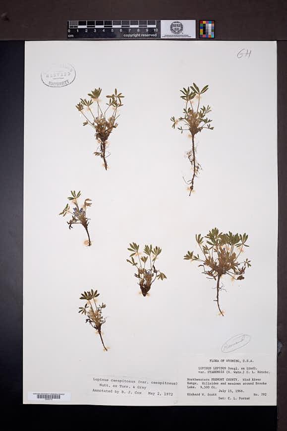 Lupinus caespitosus image