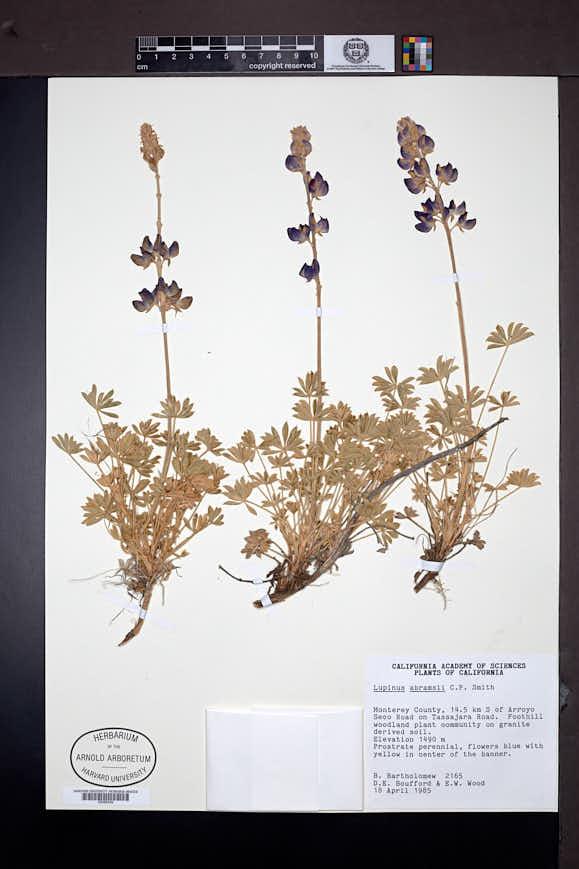 Lupinus abramsii image