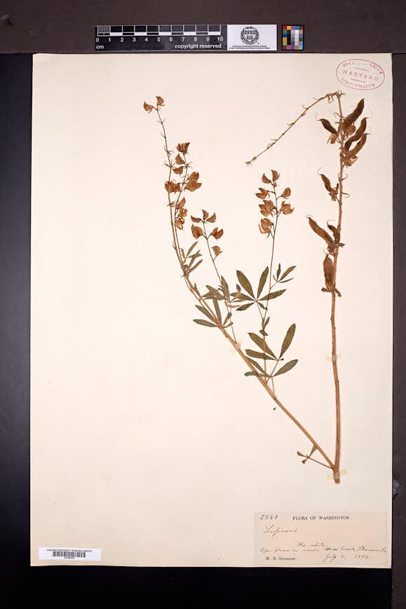 Lupinus albicaulis image