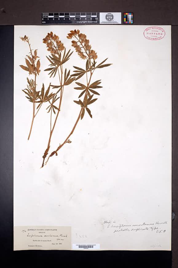 Lupinus alpicola image